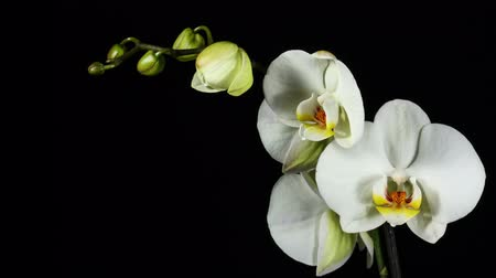 virág : orchiday flower blossom burgeon time lapse 4k Stock mozgókép