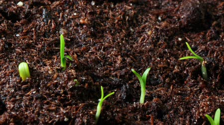 rostoucí : Growing seed of marigold timelapse
