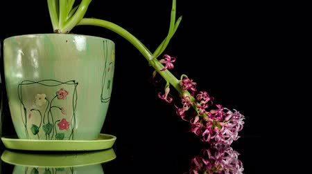 ölen : Hyacinthus dying on black 4k time-lapse. Studio Shot.