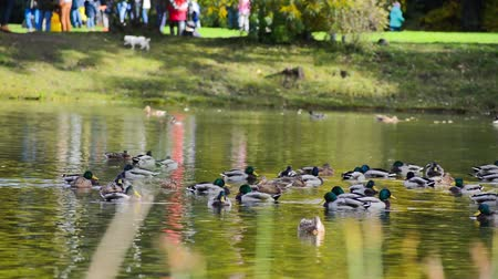 Ducks in a pond in autumn city park. Walking people relax in the park