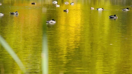 Ducks floating and feeding in the pond 影像素材