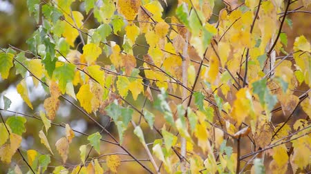 Yellow leaves slightly waving in the autumn wind