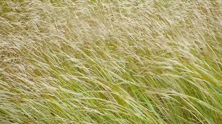 Tall grass blows in the wind on autumn close up. 影像素材