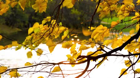 Golden autumn leaves sways in the wind over the water 影像素材