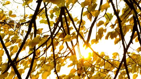 Sun shining through fall leaves blowing in the wind.