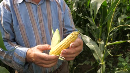 relieves : The Hands Of An Elderly Farmer Peel The Corn Cob From The Leaves, In The Field.