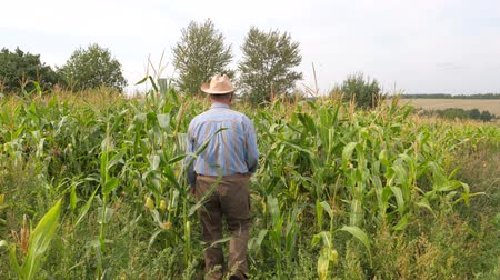 relieves : An elderly Farmer Walks In a Field of Corn to Check HER Condition.