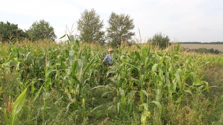 relieves : An Elderly Farmer In Hat Comes Out Of The Cornfield And Shows Thumb Up.