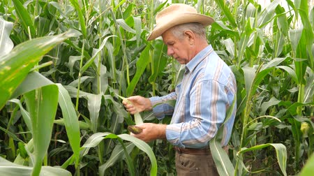relieves : An elderly Farmer Pulls and Clean Corn Cobs From the Leaves In the Field.