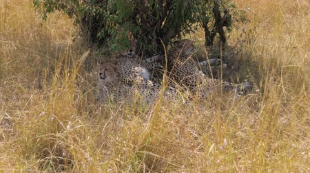 felidae : Family Of 3 Cheetahs Hiding In The Shadows Of The Bush From The Scorching Sun