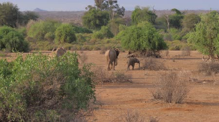 ear protection : Elephant Family Goes On The Hot Brown Earth Of The African Savanna Reserve