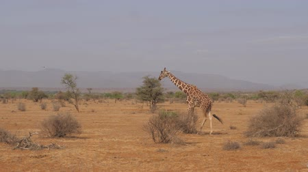 samburu : Giraffe Walking On A Desolate And Dry African Savannah, Samburu Reserve