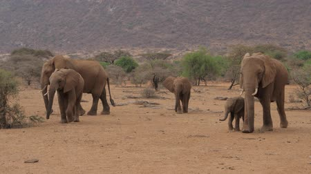 samburu : The Elephants Family With Baby Goes On The Desert With Brown Sand