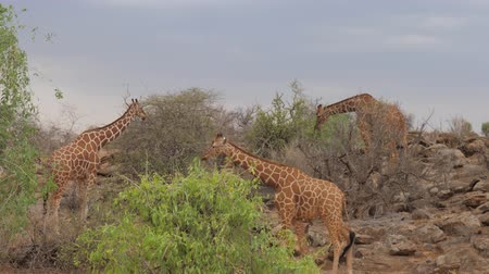 samburu : Giraffes Eat Leaves From Trees. The Samburu Of Kenya.