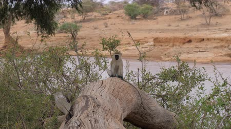 саванна : A Monkey Sits On A Dry Tree On Background Of The River In Samburu Africa Стоковые видеозаписи