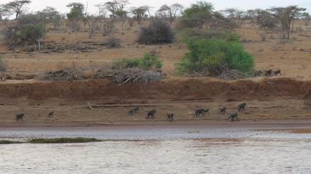 samburu : Group Of Monkeys Is Walking On The Shore Of The River In The African Savannah Stock Footage