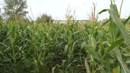 kabuksuz tahıl : Field With Ripe Corn, The Cultivation Of Crops, Swaying In The Wind.