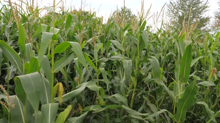 плотно : Field With Ripe Corn, The Cultivation Of Crops, Swaying In The Wind.
