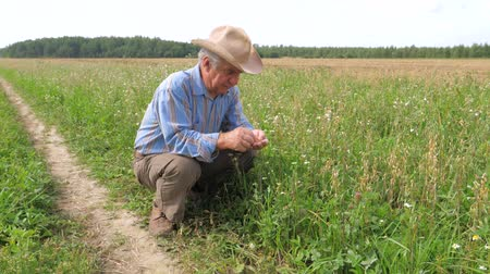 throws : Old Farmer In A Cowboy Hat, Agriculture Field, Checks Maturation Of Grain Crop