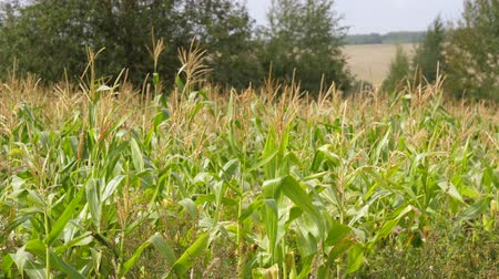 kabuksuz tahıl : Field With Ripe Corn, The Cultivation Of Agricultural Crops Swaying In The Wind.