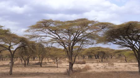Танзания : Forest Beautiful Acacia Trees Grown In the Arid African Savannah, Kenya 4K.