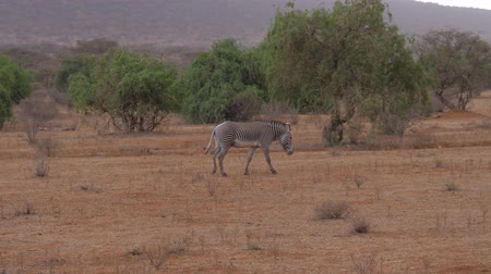 samburu : Lonely Grevys Zebra Walk Brown Dry Earth African Savannah Samburu Near Bushes Stock Footage