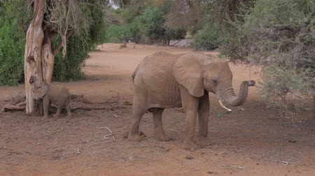 buzağı : Samburu, Kenya- July 22, 2017: Elephant With Baby Eating, Rides Safari Car