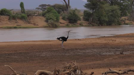 avestruz : Male Ostrich On the Banks of the Muddy Brown River In Samburu Reserve Kenya, 4K.