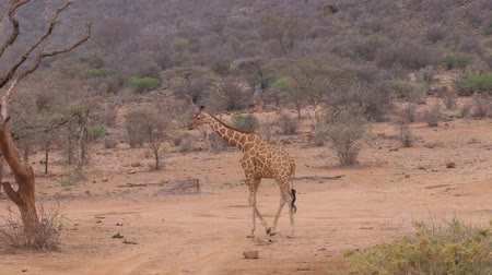 savana : Lonely Giraffe Walking On The Dry Dusty African Savannah, Samburu Kenya 4k Stock Footage