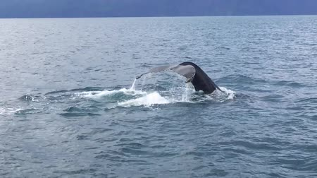 wieloryb : Whale Lifting Its Tail And Slapping It Down On Surface And Dives Into The Water