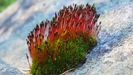 стабильность : Moss On A Stone Blooms With Red Flowers Стоковые видеозаписи