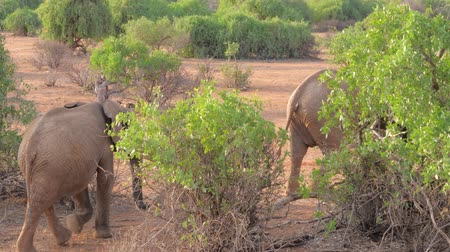 samburu : African Elephant With Baby Walking In The Bushes Of Samburu Reserve Kenya