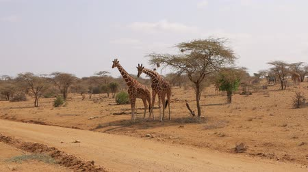 samburu : Samburu Reserve Two African Giraffes RUB Against Each Other With Their Necks
