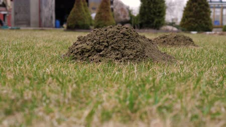 molehill : A View Of Soil Heaps On The Green Lawn Made By Moles After The Winter At Spring