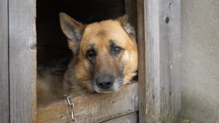 alsatian : Close Up View Of A German Shepherd Dog Looking Forward
