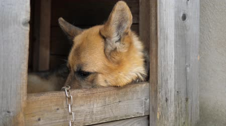 hidden face : Close Up View Of A German Shepherd Dog With Sad Eyes Hiding Face In The Doghouse