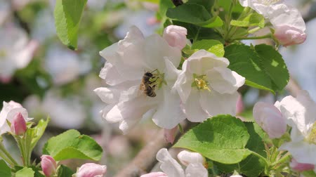 sério : Closeup Of Bee Collects Honey In Blooming White And Pink Apple Flowers Vídeos