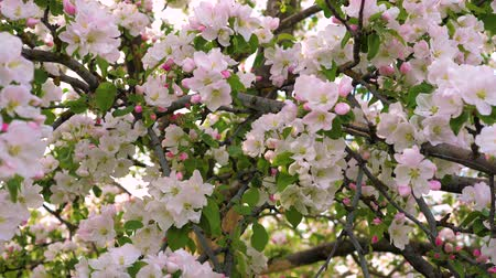 sério : Closeup Blooming White And Pink Flowers Of The Apple Tree