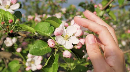 Вишневое дерево : Close-Up Of Female Hand Touches The Petals Of Blooming Apple Flower At Spring Стоковые видеозаписи