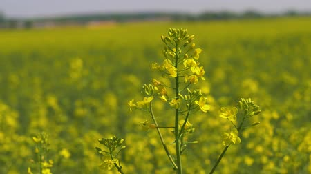 kolza tohumu : Closeup Yellow Flowers On The Blooming Field Of Rapeseed Or Canola Stok Video