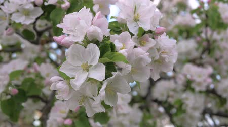 sério : Closeup Beauty Blooming White And Pink Flowers Of The Apple Tree