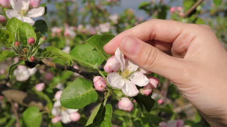 apple tree : Female Hand Lovingly Touches And Caressing The Blooming White Flowers Of Tree
