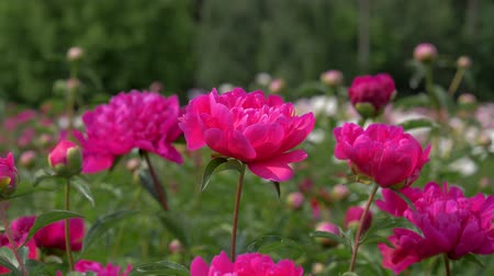 piwonie : Closeup Of Bright Pink Red Peonies In A Field Of Blooming Flowers