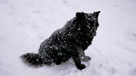 bezdomny : Homeless Black Dog In Winter Snowfall Turns His Head And Looks At The Camera