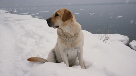 wełna : Homeless Dog Sitting On The Coast In Heavy Snowfall In Winter Wideo