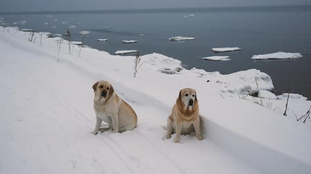 retriever : Two Labrador Dogs On The Coastline In Winter Stock Footage
