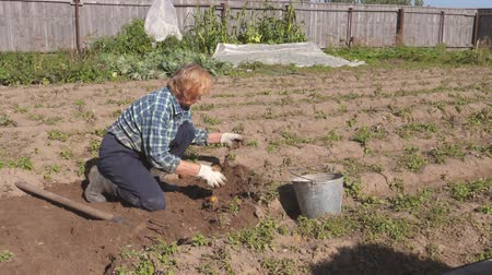 enredo : An Old Woman Digs Ripe Potatoes From The Beds In The Garden