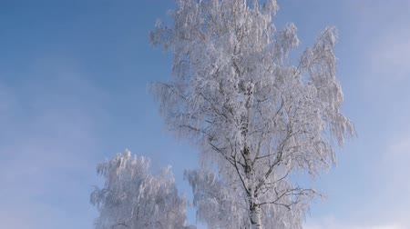 szron : Tree With Snow White And Glittering Frost On Branches In Winter After Snowfall