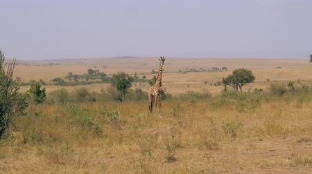 býložravý : Adult Giraffe In The African Savannah Looking At Camera Dostupné videozáznamy