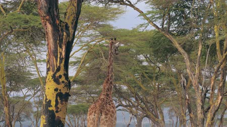 foglalás : African Giraffe Walks Under The Green Canopy Of Acacia Trees